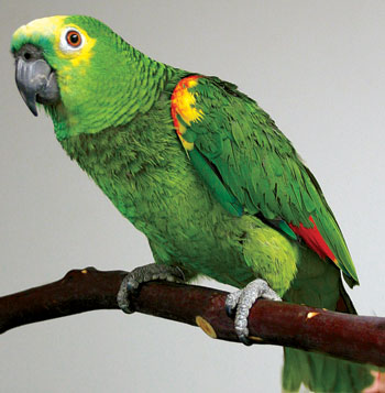 Popug - Сонник попугай