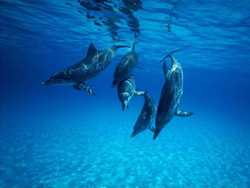 delfin sonnik - Сонник дельфин