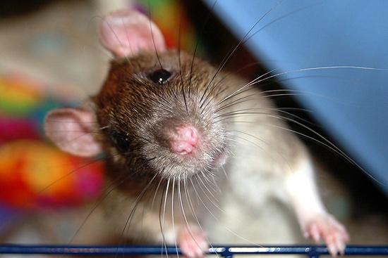 dlya skrinov fon - Год крысы