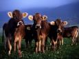 Сонник корова и молоко