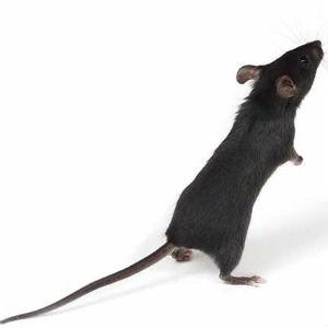 sonnik mysh chernaja1 - Сонник мыши