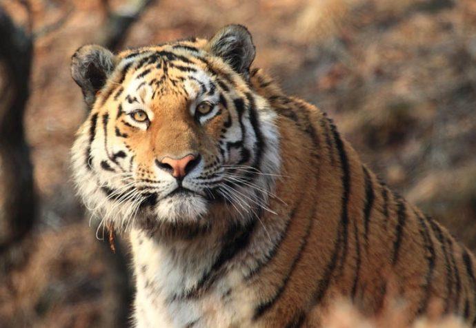 Тигр год рождения — гороскоп